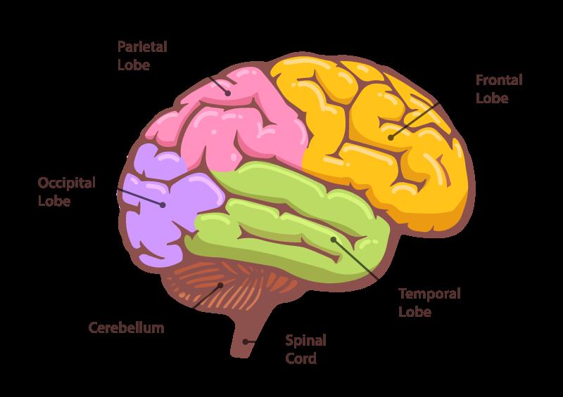Cervello - Percezione dell'arte
